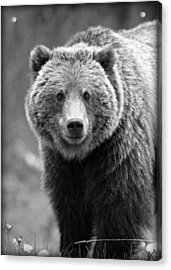 Banff Grizzly In Black And White Acrylic Print