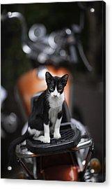Bangkok Cat Acrylic Print by David Longstreath