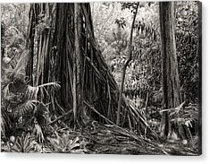 Strangler Fig And Cypress Tree Acrylic Print