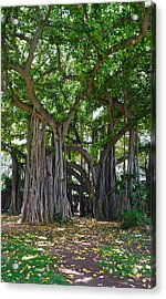 Banyan Tree At Honolulu Zoo Acrylic Print