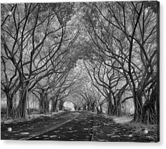 Banyan Tree Lined Road Acrylic Print