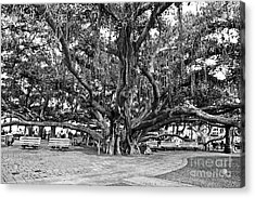Banyan Tree Acrylic Print by Scott Pellegrin