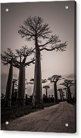 Baobab Avenue Acrylic Print