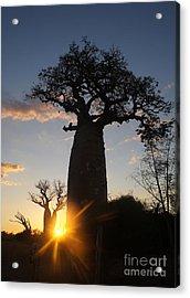 baobab from Madagascar 6 Acrylic Print
