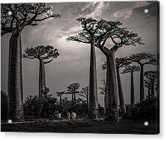 Baobab Highway Acrylic Print
