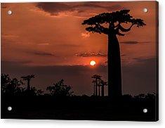 Baobab Sunrise Acrylic Print