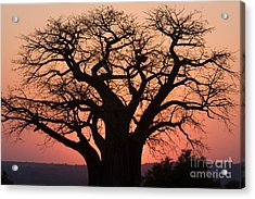 Acrylic Print featuring the photograph Baobab Tree Sunset by Chris Scroggins