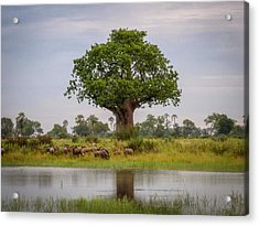 Baobao Tree Acrylic Print