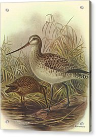 Bar Tailed Godwit And Chatham Island Snipe Acrylic Print by Rob Dreyer