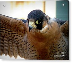 Barbary Falcon Wings Stretched Acrylic Print by Lainie Wrightson
