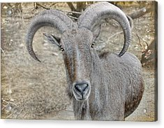 Acrylic Print featuring the photograph Barbary Sheep by Dyle   Warren