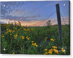Barbed Wire And Common Tansy Acrylic Print by Dan Jurak