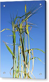 Barley (hordeum Vulgare Acrylic Print