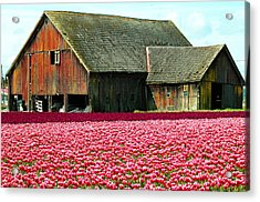 Barn And Tulips Acrylic Print by Annie Pflueger
