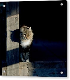 Barn Cat Acrylic Print by Art Block Collections