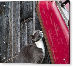 Barn Cat Acrylic Print by Nickaleen Neff