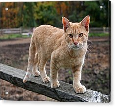 Barn Cat Acrylic Print