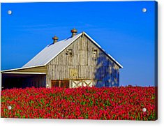 Barn In Red Clover Acrylic Print by Denise Darby