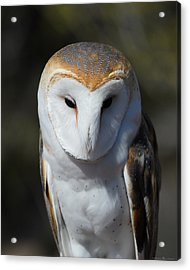Acrylic Print featuring the photograph Barn Owl by Avian Resources