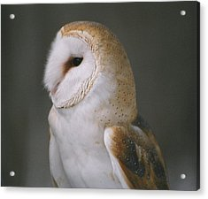 Barn Owl Acrylic Print by David Porteus