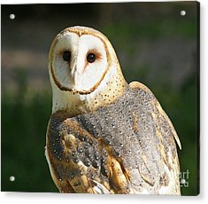 Barn Owl In Bright Sun Acrylic Print