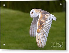 Acrylic Print featuring the photograph Barn Owl In Flight by Nick  Biemans