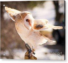Barn Owl In The Breeze Acrylic Print by Lori England Zornes