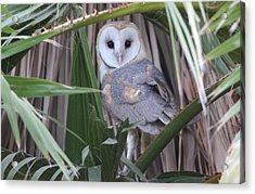 Barn Owl Acrylic Print by Joe Sweeney