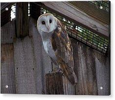 Barn Owl Acrylic Print by Michele Kaiser