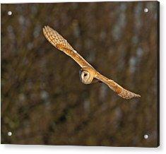 Acrylic Print featuring the photograph Barn Owl   by Paul Scoullar
