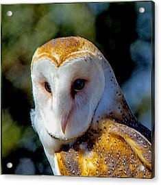 Acrylic Print featuring the photograph Barn Owl Portrait by Constantine Gregory
