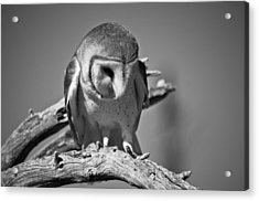 Barn Owl Thoughts  Acrylic Print by Swift Family