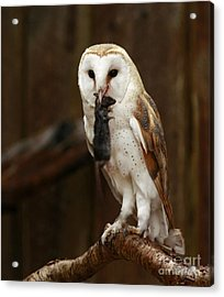 Barn Owl With Catch Of The Day Acrylic Print by Inspired Nature Photography Fine Art Photography