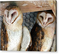 Barn Owls Acrylic Print by David Yunker