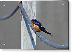 Barn Sparrow Acrylic Print by Chris Tennis