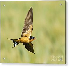 Barn Swallow Acrylic Print by Carl Jackson
