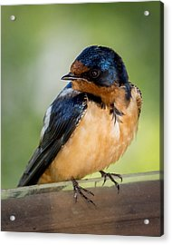 Barn Swallow Acrylic Print by Ernie Echols