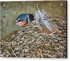 Barn Swallow Fledgling - Baby Bird In Nest Acrylic Print by Nikolyn McDonald