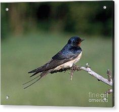 Barn Swallow Acrylic Print by Hans Reinhard