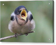 Barn Swallow Acrylic Print by Joe Sweeney