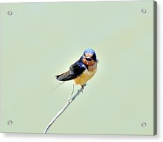 Acrylic Print featuring the photograph Barn Swallow by Kathy King
