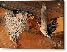 Barn Swallow Nest Acrylic Print by Scott Linstead