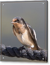 Acrylic Print featuring the photograph Barn Swallow On Rope I by Patti Deters