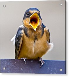 Acrylic Print featuring the photograph Barn Swallow by Ricky L Jones