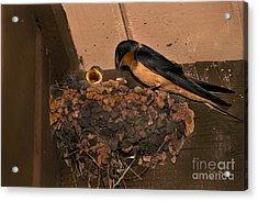 Barn Swallow Acrylic Print by Ron Sanford