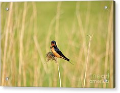 Barn Swallow Acrylic Print
