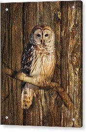 Barred Owl 1 Acrylic Print by Lori Deiter