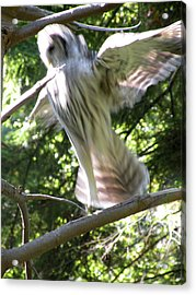 Barred Owl Angelic Liftoff Acrylic Print