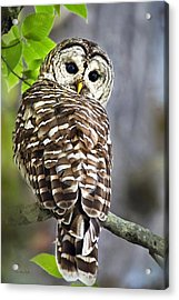 Acrylic Print featuring the photograph Barred Owl by Christina Rollo