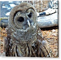 Acrylic Print featuring the photograph Barred Owl by Constantine Gregory